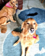 Golden Rescue: Welcome Sam & Missy